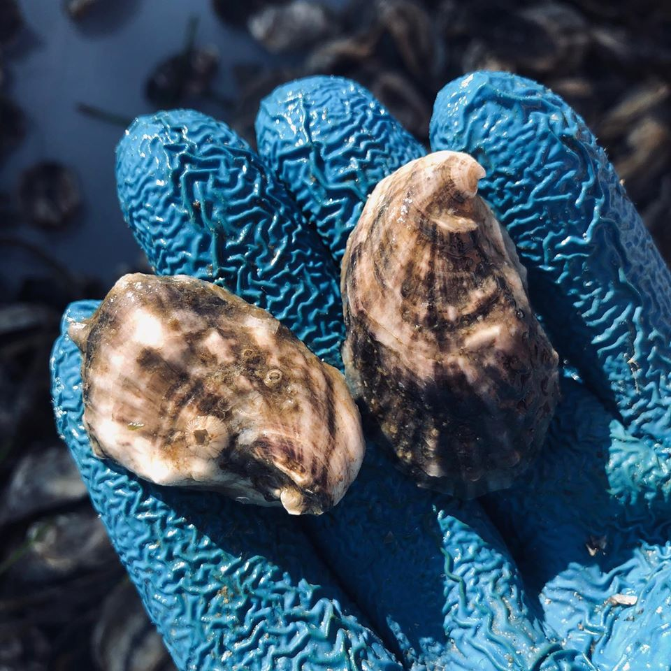 7 week old oysters